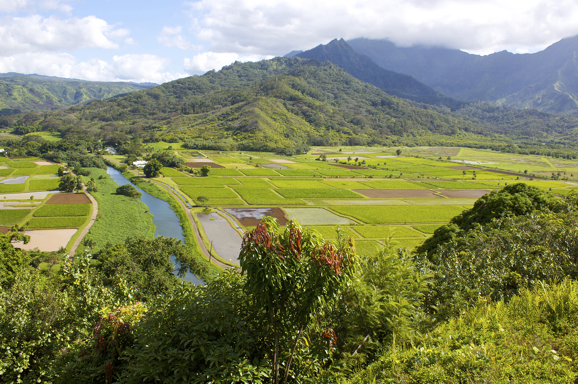 [Hanalei Valley taro fields] Photo by Bill Bumgarner.