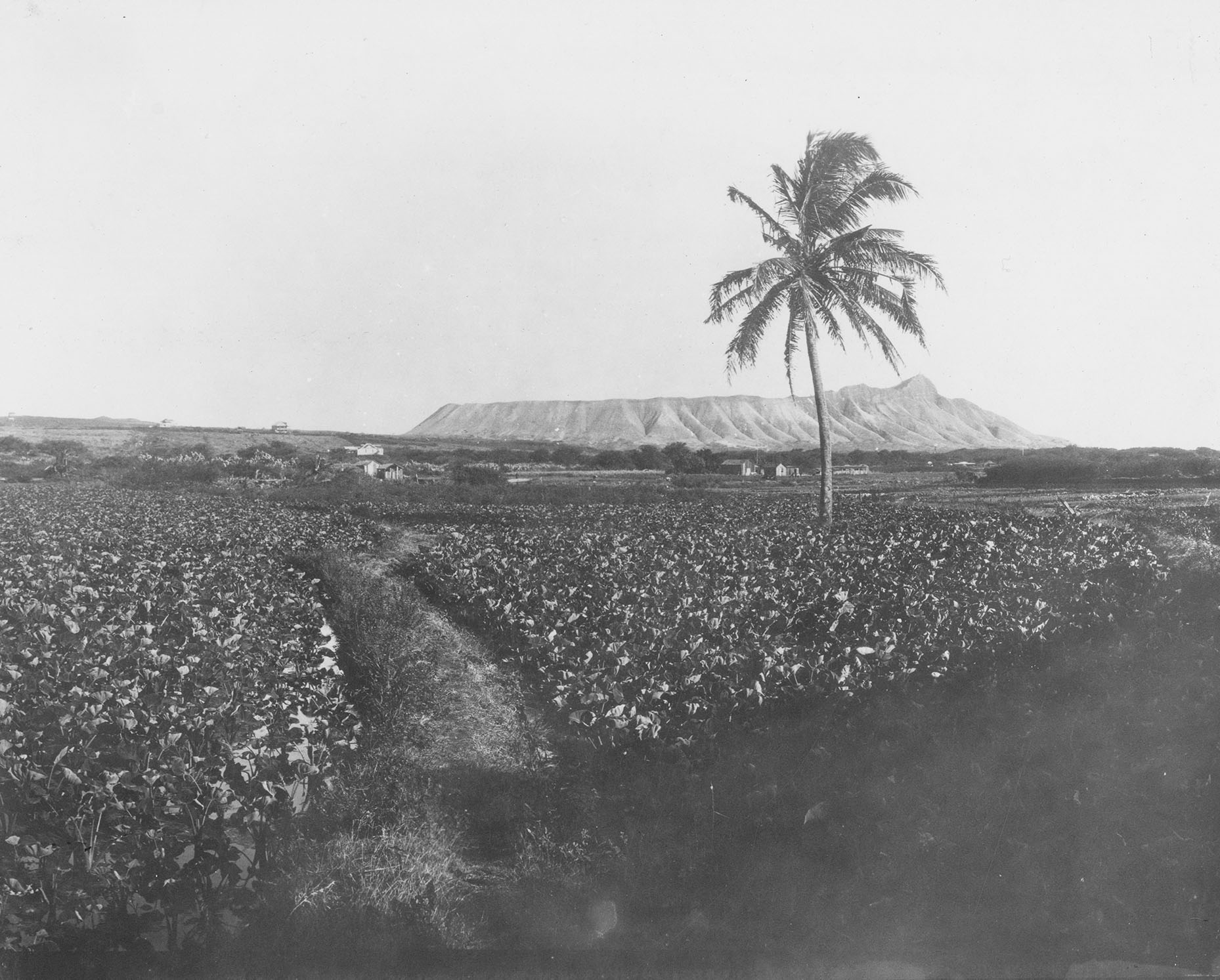 [Duck ponds in Honolulu] View of Diamond Head from the duck ponds in Honolulu, with taro fields in the foreground; Honolulu, Hawaiʻi, 1910. Photographer unknown, Bishop Museum Archives. Used with permission.