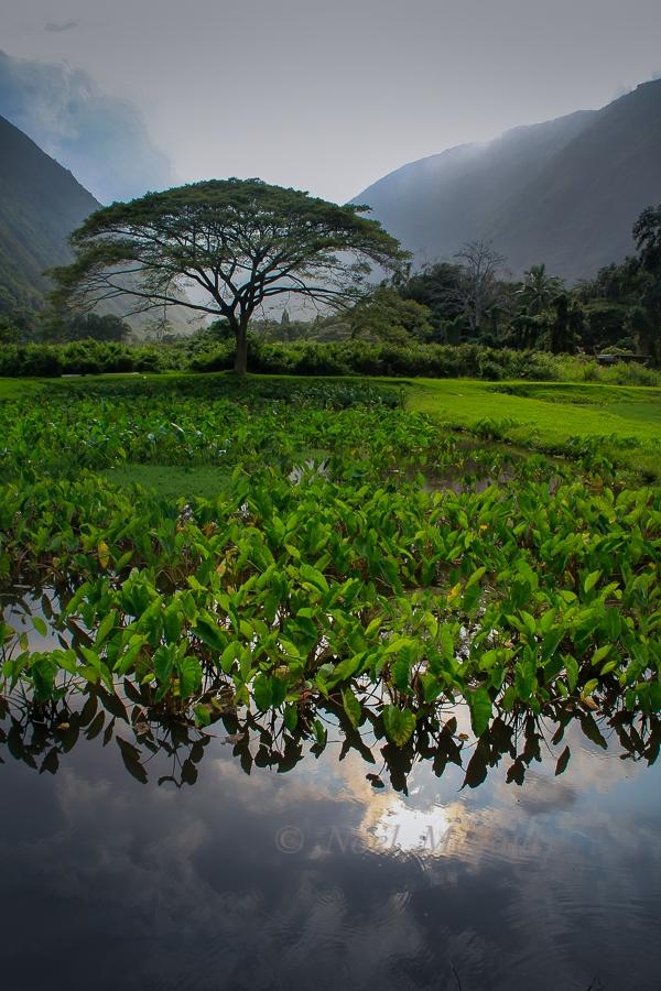 [Waipiʻo loʻi] Photo by Noel Morata.