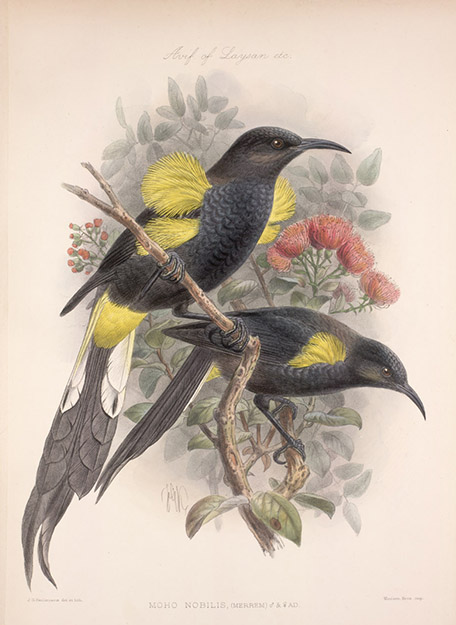 [ʻŌʻō] Artwork by John Gerrard Keulemans. Public domain.