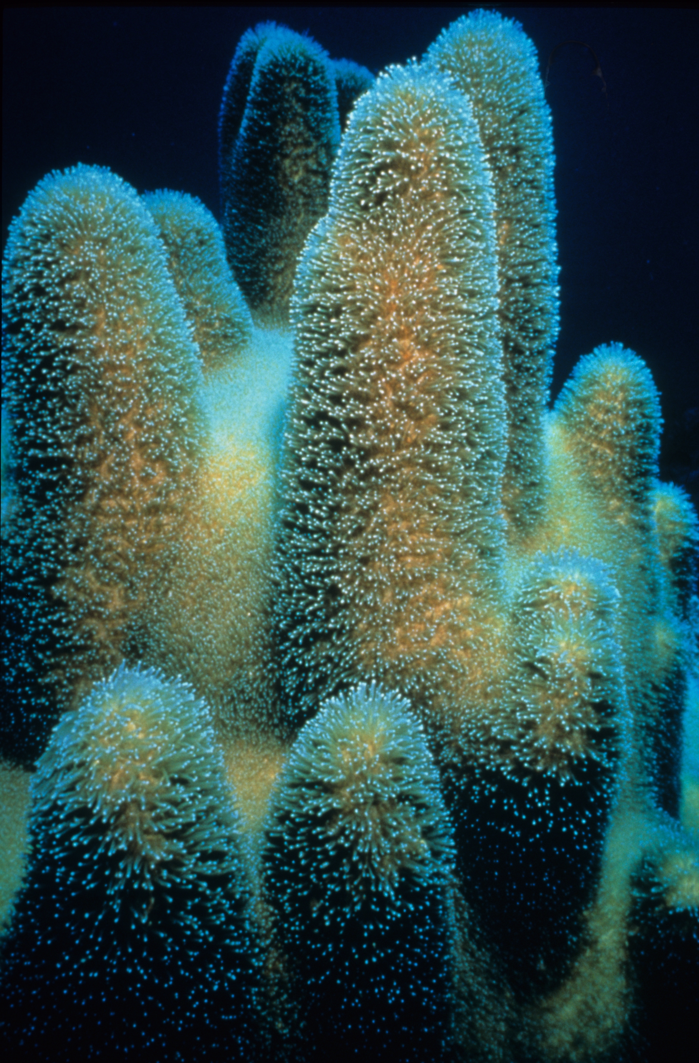 [Pillar coral] Photo by William Harrigan, NOAA Corps (ret.).