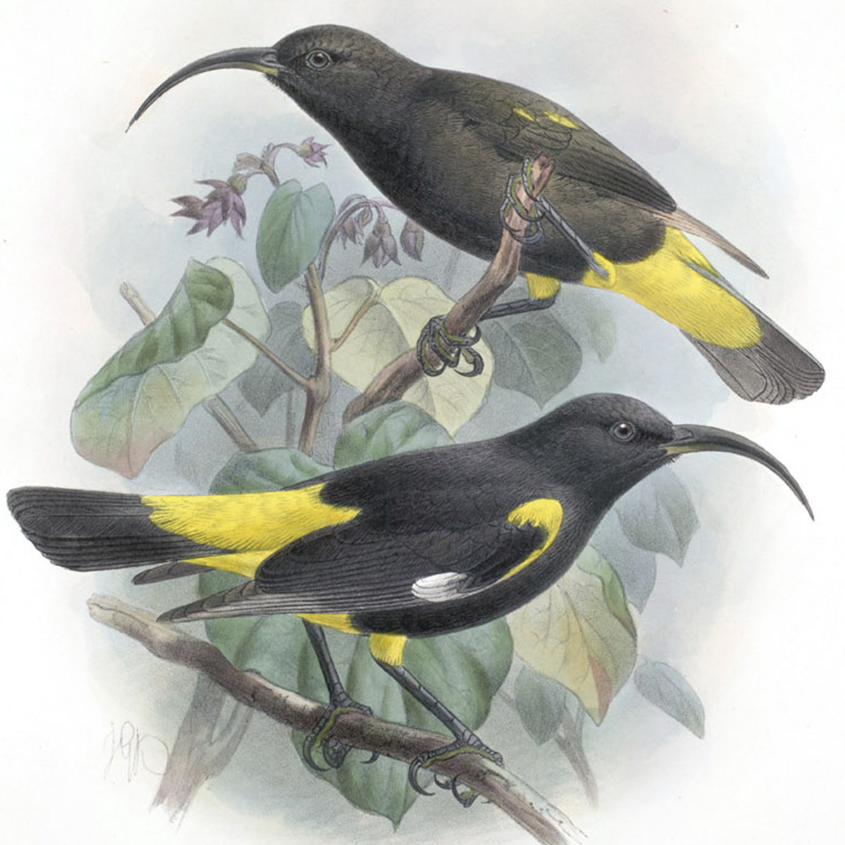 [Mamo] Artwork by John Gerrard Keulemans. Public domain.